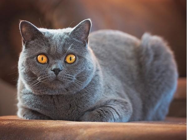 Товары для британских короткошерстных кошек