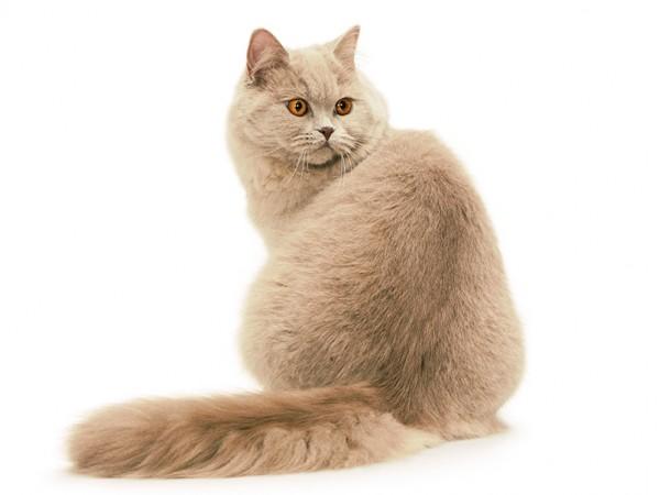 Товары для британских длинношерстных кошек